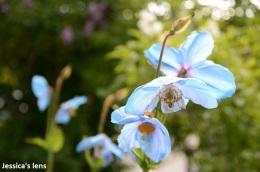 Himalayan blue poppies, Mecanopsis betonicifolia