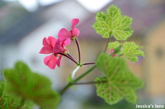 Pelargonium Crocodile