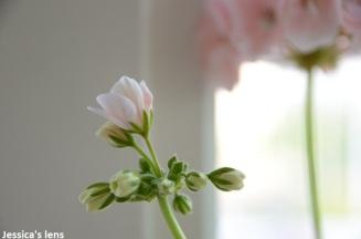Pelargonium Hortorum buds