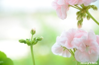 Pelargonium Hortorum