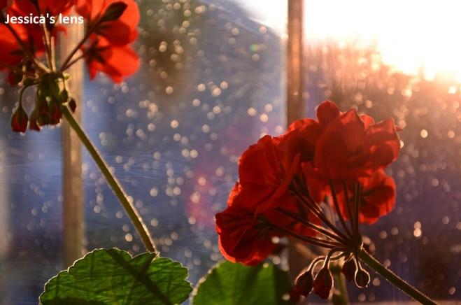 Pelargonium in the midnight sun