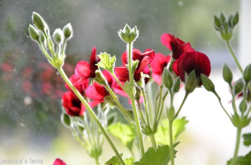 Pelargonium Voodoo buds
