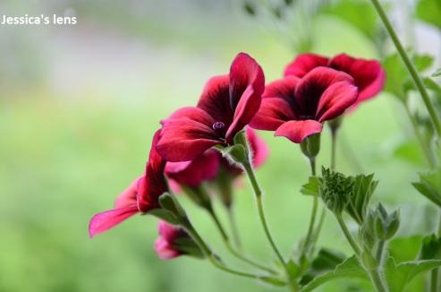 Pelargonium Voodoo