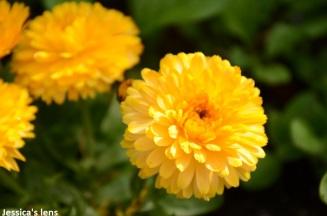 Pot marigold, Calendula officinalis