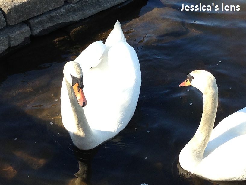 Swan swam