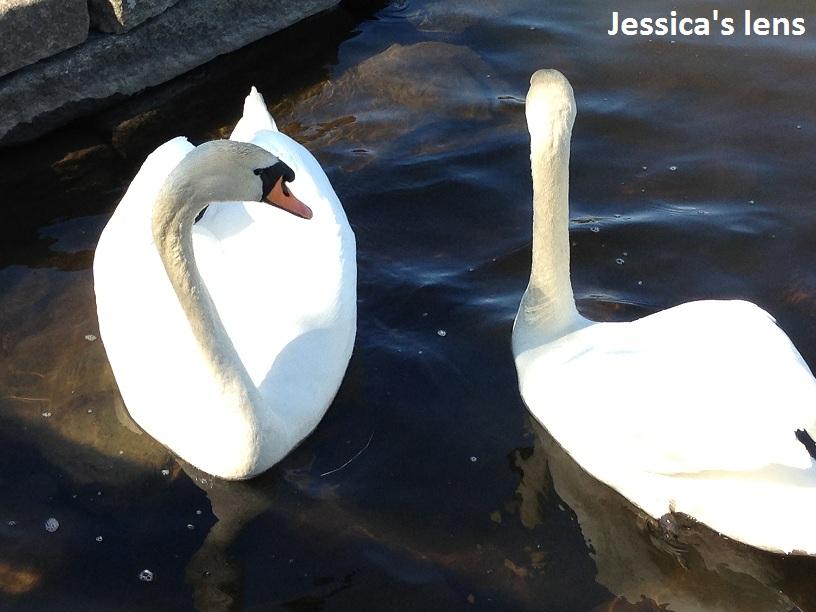 Swim swan swim
