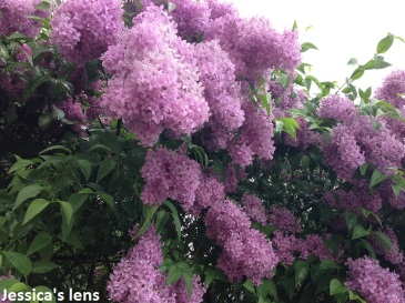 Common lilacs