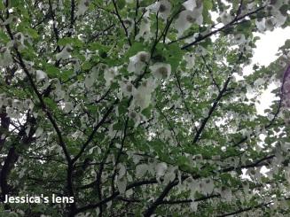 Under the dove tree