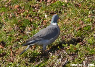 Common wood pidgeon