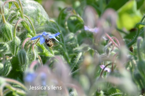Bees in the borage