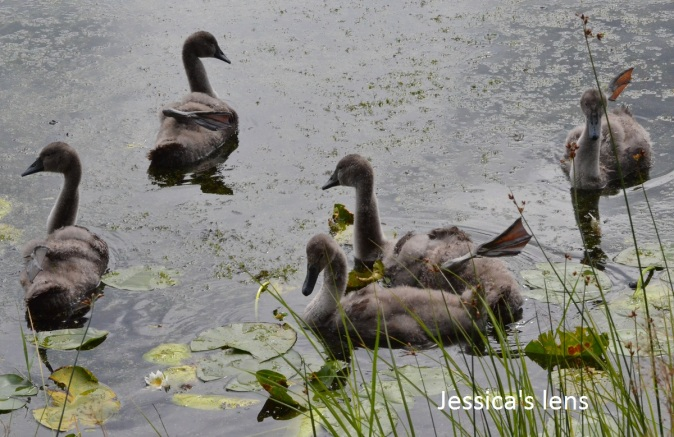 Five out of eight cygnets