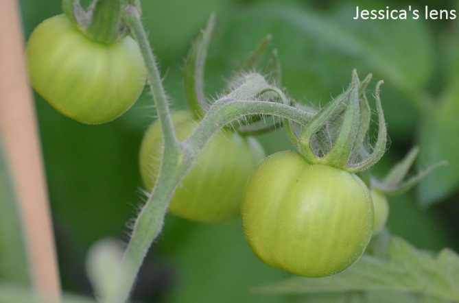 Norderås Bush Tomatoes