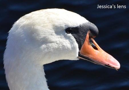 Swan's eyes