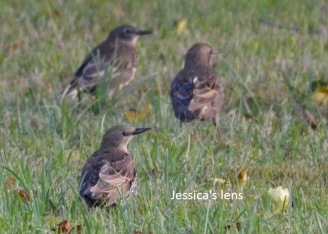Young Common Starlings