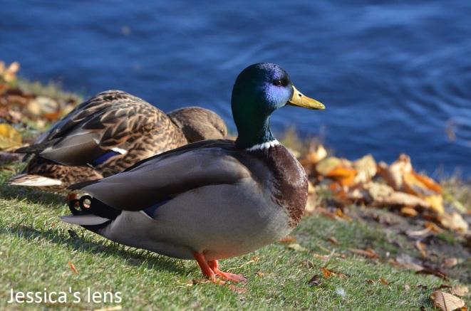 autumn-duck