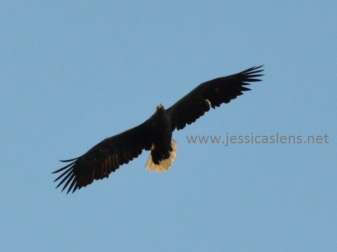 Soaring sea eagle