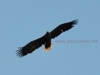 Soaring sea eagle