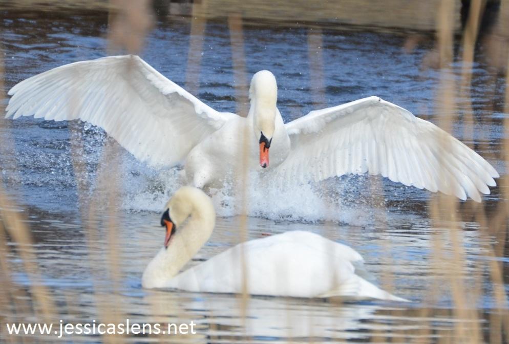 Mute swan rivalry
