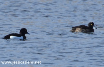 Two tufted ducks