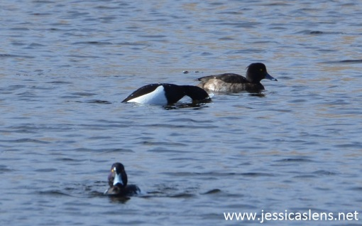 Three tufted ducks