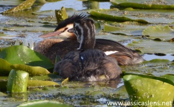 Sleeping grebes