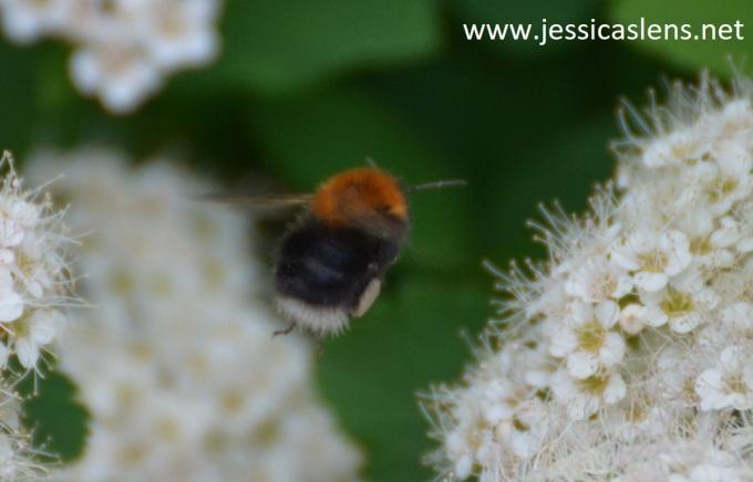 Brown bumblebee in flight