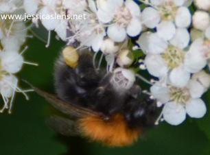 Brown bumblebee upsidedown