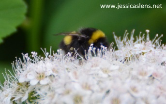 Yellow and black bumblebee on the flower